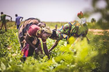 women in niger bending over to tend to crops in a field